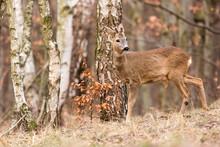 Roe Deer, (Capreolus, Capreolu...
