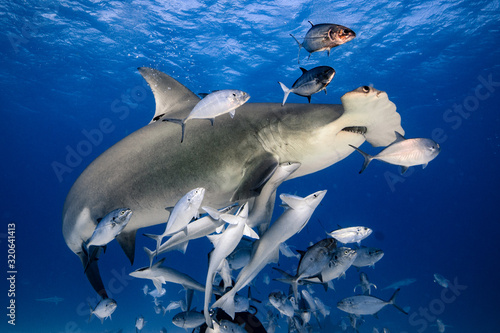 Fototapeta Great Hammerhead diving in the Bahamas