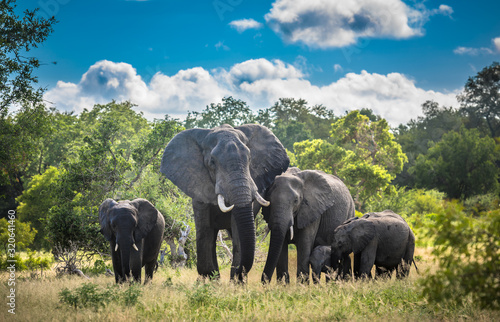 Obraz na plátně Elephants family in Kruger National Park, South Africa.