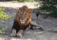 Laying Lion In The Manyeleti Game Reserve In South Africa