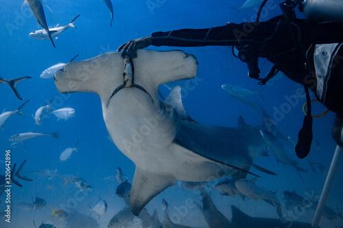 Fotomural Great Hammerhead diving in the Bahamas