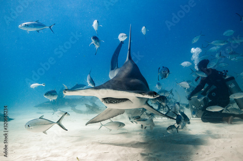 Cuadros en Lienzo Great Hammerhead diving in the Bahamas