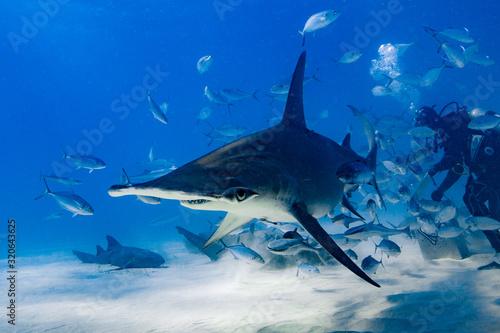 Fotografía Great Hammerhead diving in the Bahamas
