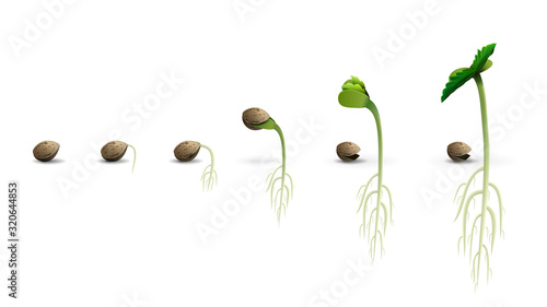 Fototapeta Stages of cannabis seed germination from seed to sprout, realistic illustration isolated on white background obraz