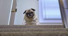 A Sad, Fat Pug Dog Sits Atop O...