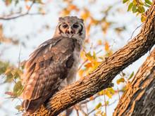 A Young Verreaux's Eagle-owl (Bubo Lacteus), In Chobe National Park, Botswana