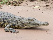 An Adult Nile Crocodile (Crocodylus Niloticus) In Chobe National Park, Botswana