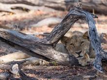 An Adult Lioness (Panthera Leo...