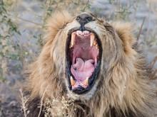 Adult Male Lion (Panthera Leo)...