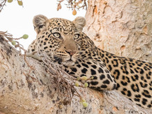 An Adult Leopard (Panthera Pardus) Resting In A Tree In The Okavango Delta, Botswana