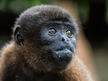 An Adult Common Woolly Monkey ...