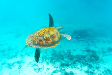 Sea Turtle Floating Underwater...
