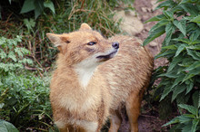 The Golden Jackal (Canis Aureus), Also Known As The Eurasian Golden Jackal, Common Jackal, Asiatic Jackal Or Reed Wolf