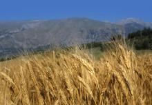 Campo Di Grano In Abruzzo