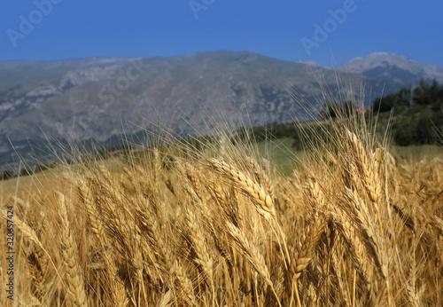 Obraz na plátně Campo di grano in abruzzo