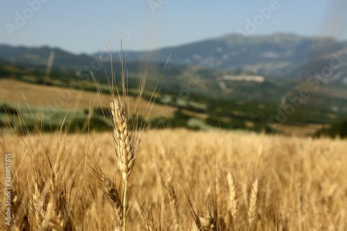 Obraz na plátně Spiga di grano duro nel campo pronto per la trebbiatura