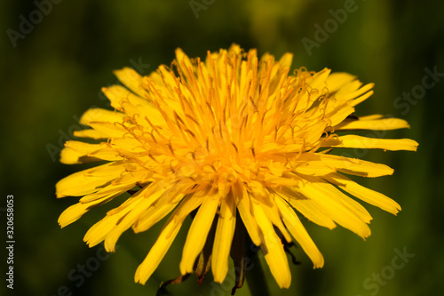Close Up Of Taraxacum (Common Dandelion) Herbal Plant Head. Canvas Print