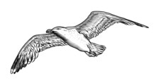 Hand Drawn Bird Seagull