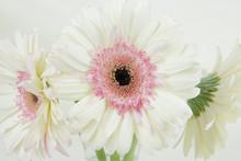 Close Up Of A White Gerber Dai...