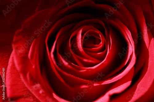 rose in different colors