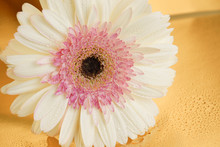 White And Pink Gerber Daisy Fl...