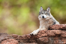 Mexican Grey Wolf On Rocks