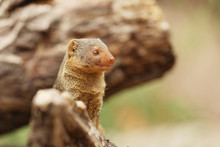 Dwarf Mongoose (Helogale Parvula) Is A Smallest African Carnivore. Animal In Nature Habitat. Africa