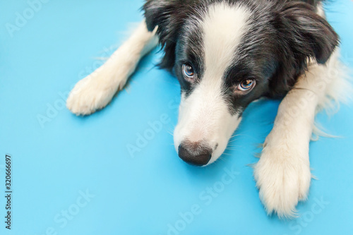 Funny studio portrait of cute smilling puppy dog border collie isolated on blue background Fototapet