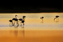 Greater Flamingo - Phoenicopte...