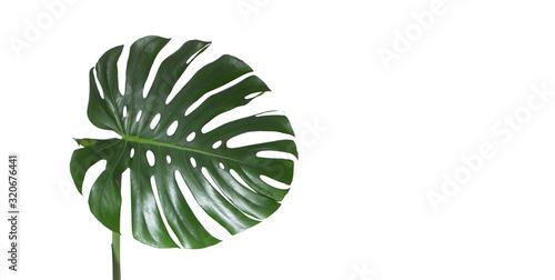 Fototapeta Monstera green juicy fresh leaf isolated on a white background obraz na płótnie