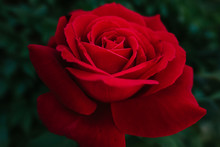 Red Rose Over Green Leaves Background