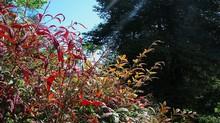 Colorful Leaves Of The Evergreen Shrub Nandina Domestica