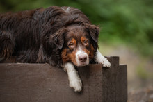Portrait Of A Dog In Nature. P...