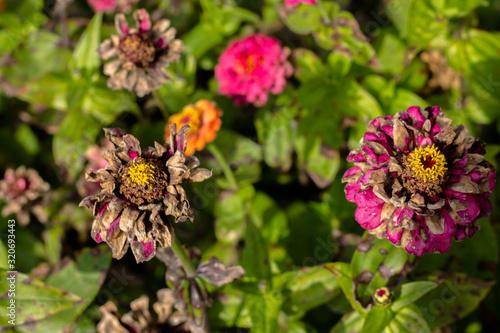 Fototapeta Wilting flowers in the flowerbed