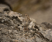 Mountain Bird Surrounded By Rocks Looks Around Alert