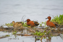 Cinnamon Teal Ducks Walking Over Wetlands .