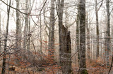 natural beech forest on a misty winter day