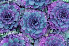 Plant Brassica Oleracea Acephala In Flower Garden
