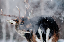 Double Exposure Of Antler And ...