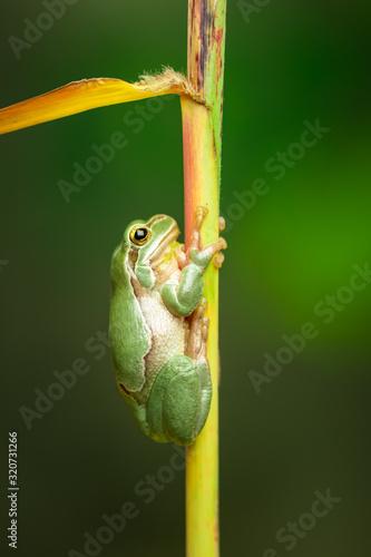 Photo European green tree frog in the natural environment, wildlife, wild animal, hyla