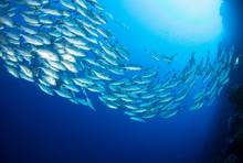 School Of Trevally Fish