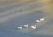 Group Of  Swans Swimming And L...