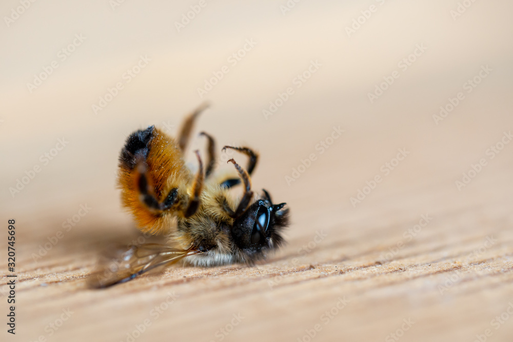 Fototapeta Close up of a dead honey bee lying on the ground