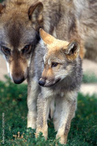 Valokuvatapetti LOUP D'EUROPE canis lupus