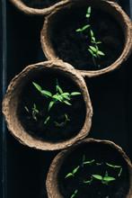 Seedlings In Peat Pots. Baby P...