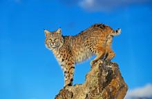 LYNX ROUX BOBCAT Lynx Rufus