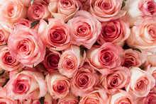 Closeup Of Pink Roses Flowers ...