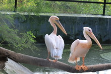Wonderful Sitting A Couple Of Pelicans On Dry Tree