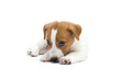 Jack Russell Terrier puppy isolated on white background
