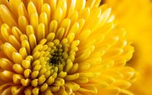 Closeup Of A Yellow Chrysanthe...